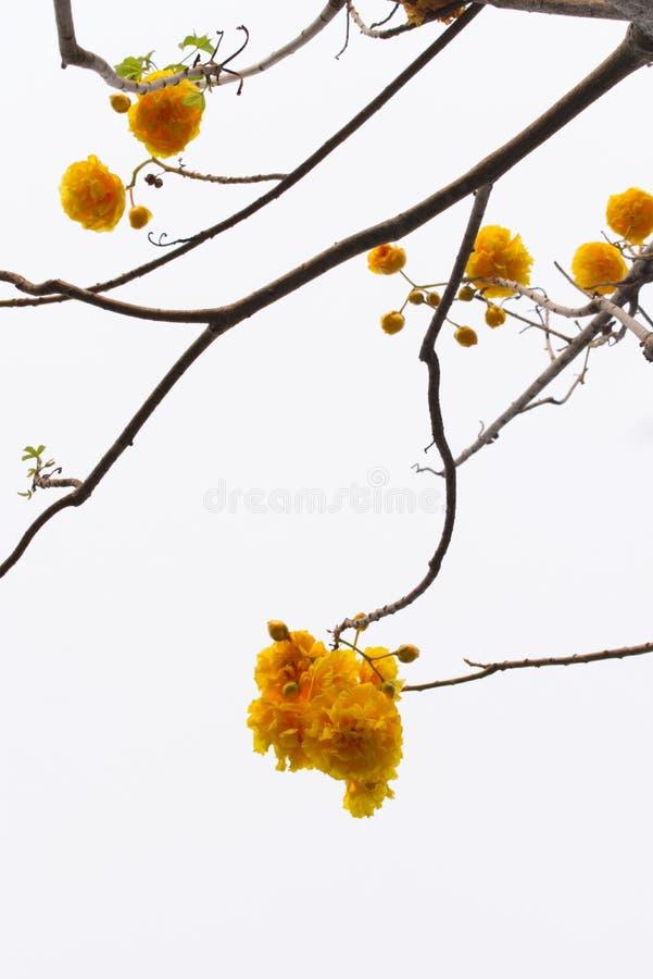 Дерево без силуэта листьев на яркой предпосылке неба, желтых цветках Tabebuia стоковые фотографии rf