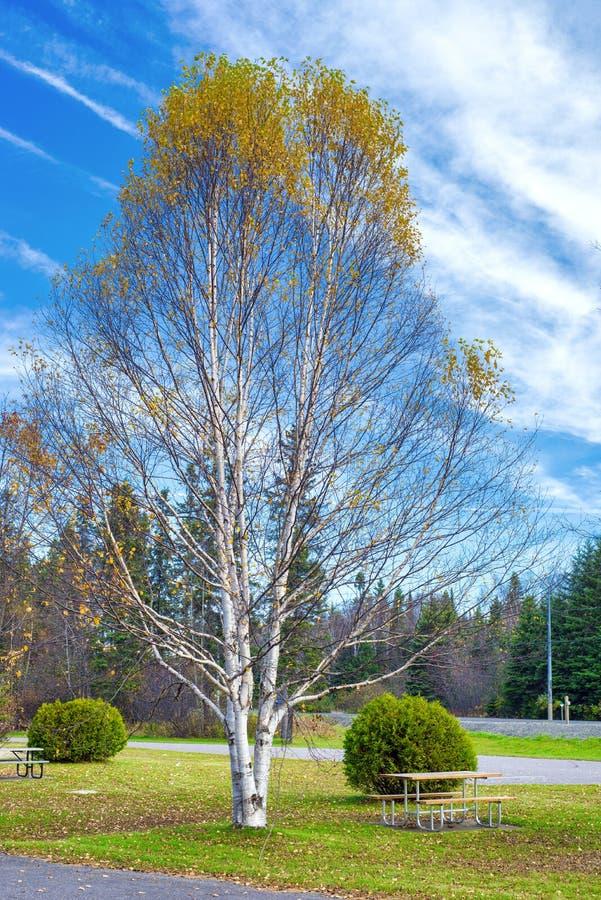 Дерево березы во время падения в северный парк Онтарио стоковое изображение rf