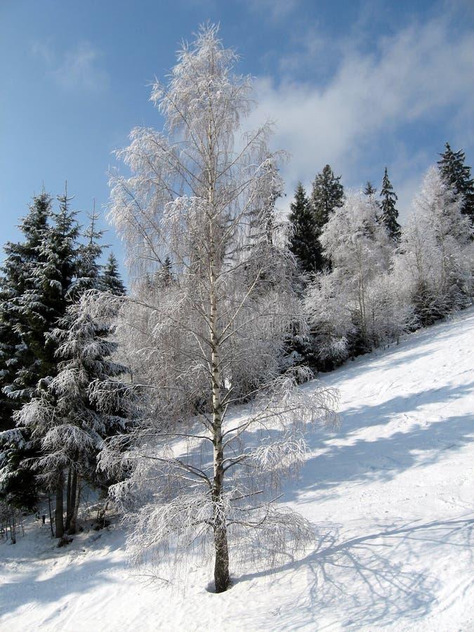Дерево березы на ландшафте зимы предпосылки стоковое фото