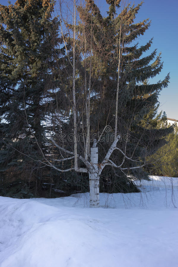 Дерево березы - смогло быть мертво давно но все еще живой стоковое изображение