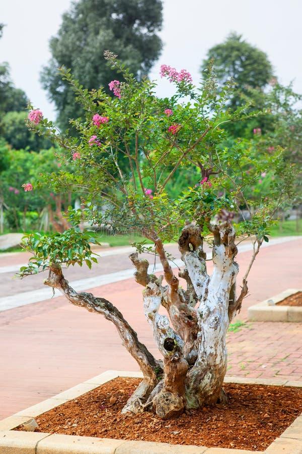 Дерево бонзаев мирта Crape стоковые изображения