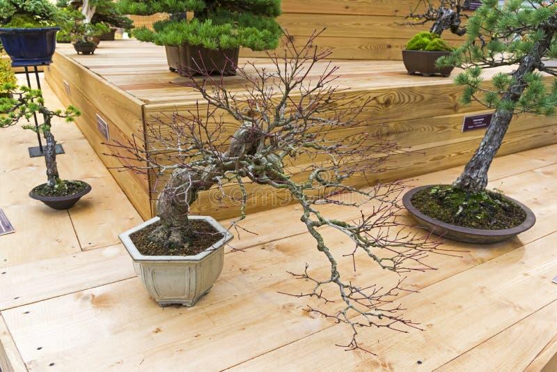 Дерево бонзаев - японский клен стоковая фотография