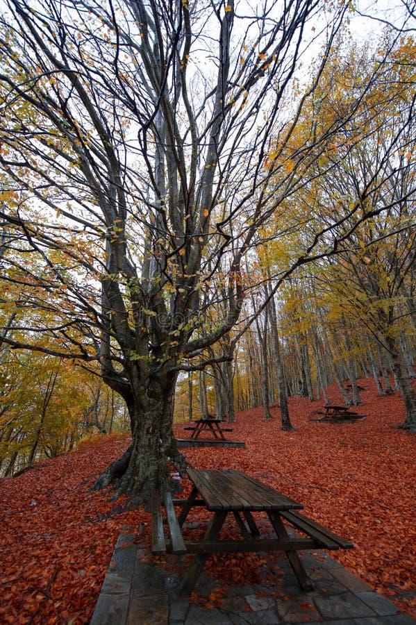 Дерево бука стоковые фото