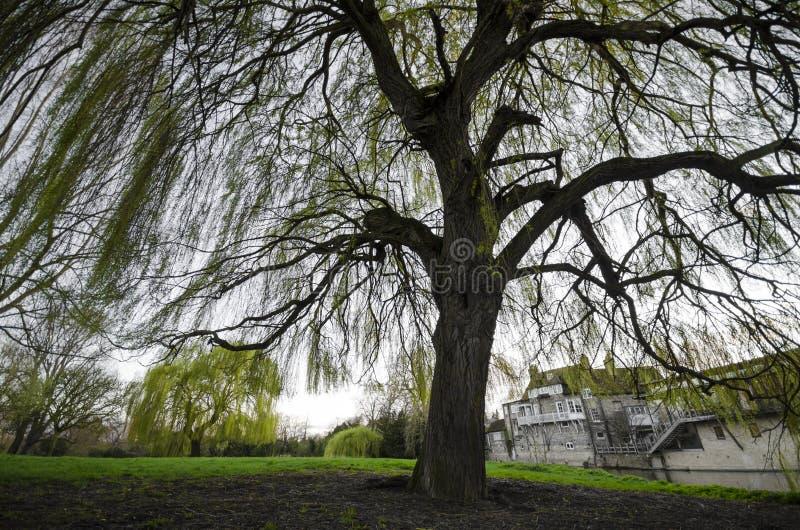 Дерево вербы весны стоковое изображение rf