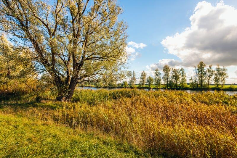 Дерево вербы и пожелтетые тростники на банке канала стоковое изображение