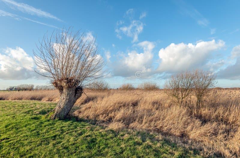 Дерево вербы Полларда с безлистными ветвями стоковая фотография rf