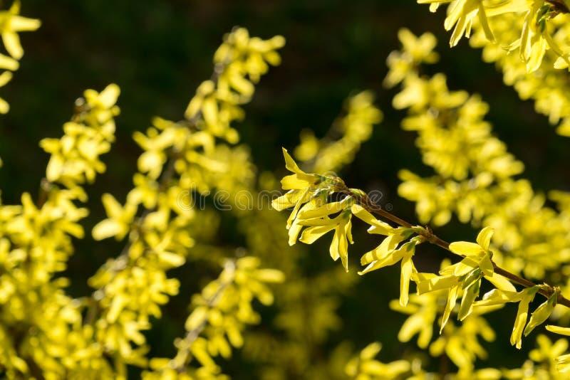 Дерево весны цветя - цветок Forsythia r стоковая фотография rf