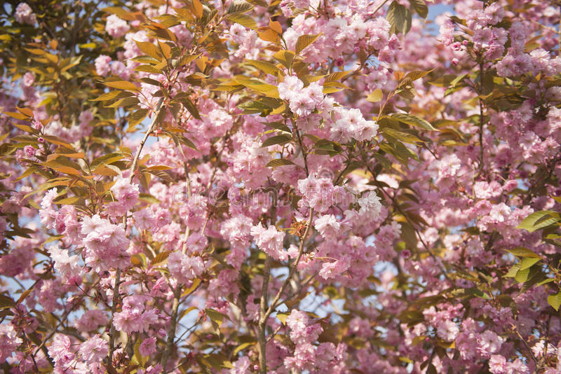 Дерево вишневого цвета в цветени стоковое фото