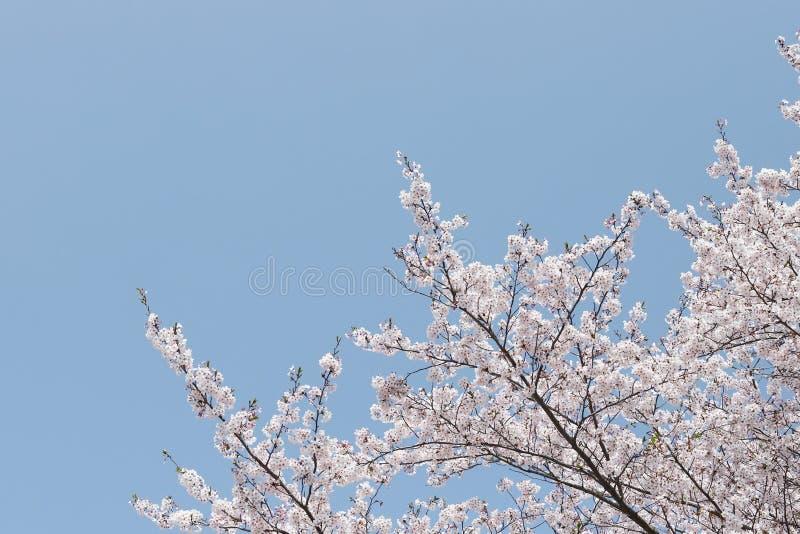 Дерево вишневого цвета против голубого неба стоковое изображение