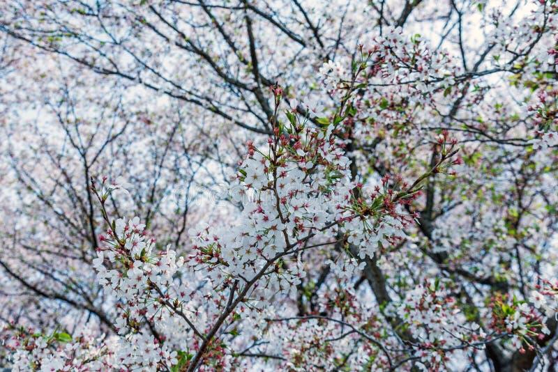 дерево вишневого цвета Сакуры в парке Японии Gongendo стоковая фотография rf