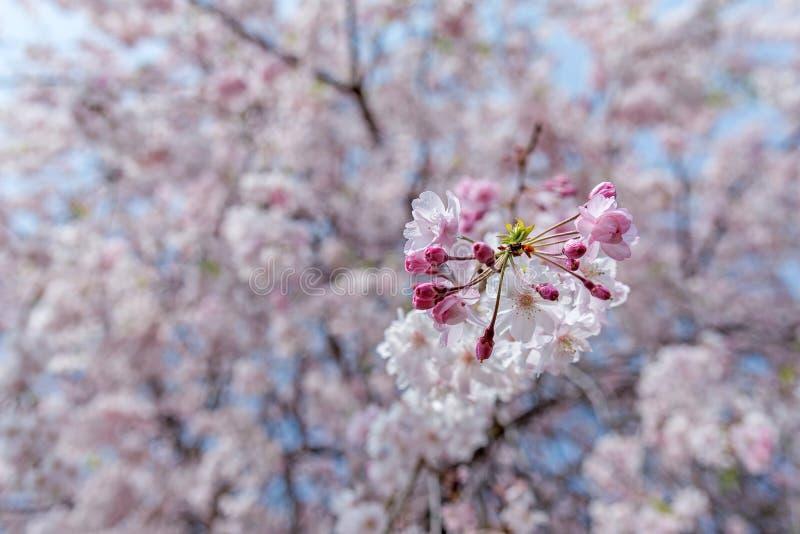 дерево вишневого цвета Сакуры в парке Японии Gongendo стоковое изображение rf