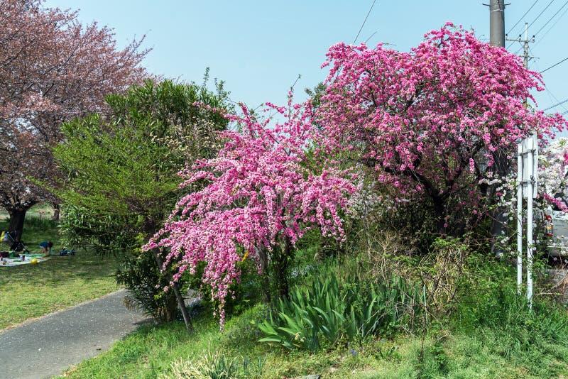 дерево вишневого цвета Сакуры в парке Японии Gongendo стоковые изображения