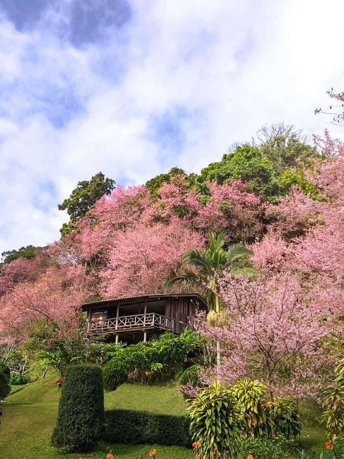 Дерево вишневого цвета с предпосылкой голубого неба стоковое изображение rf