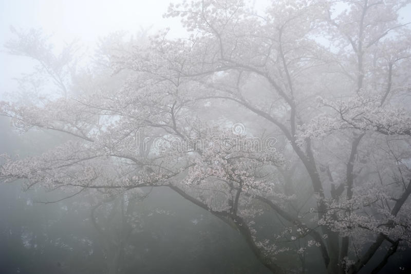 Дерево вишневого цвета стоковые изображения