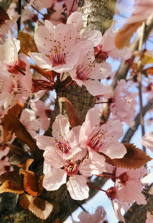 Дерево вишневого цвета стоковая фотография rf