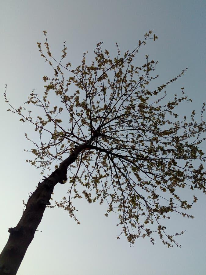 Дерево во времени захода солнца с ясными голубыми небесами стоковая фотография rf