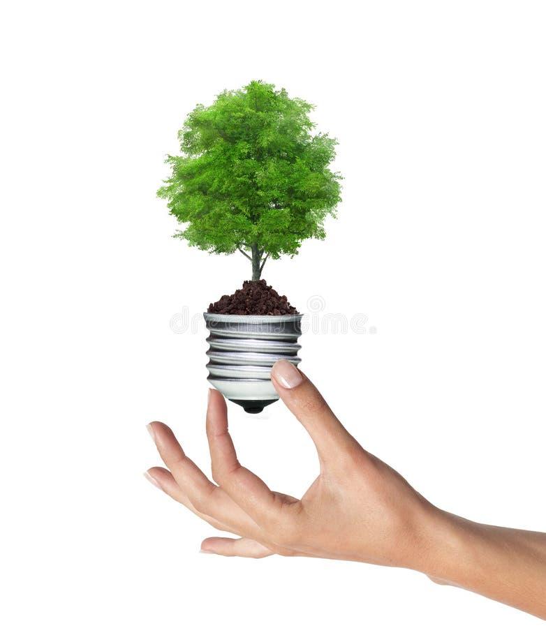 Дерево в лампочке в руке женщины над белизной стоковое изображение rf