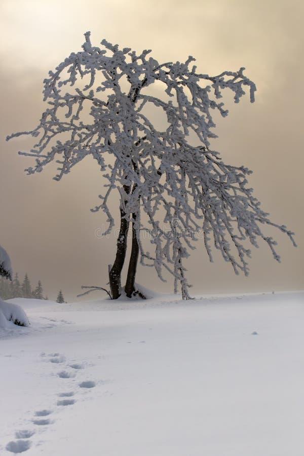 Дерево в горе тумана снега стоковая фотография rf