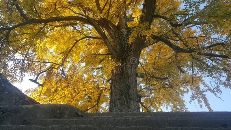 Дерево в падении с желтыми листьями стоковые фото