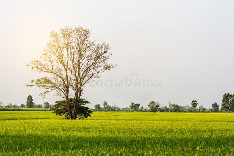 Дерево в полях риса стоковая фотография rf