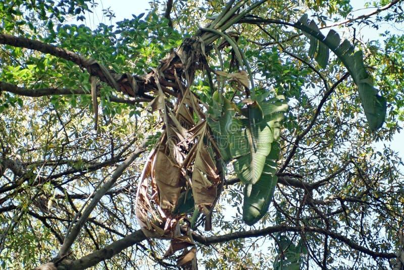 Дерево в Претории, Южной Африке стоковые изображения