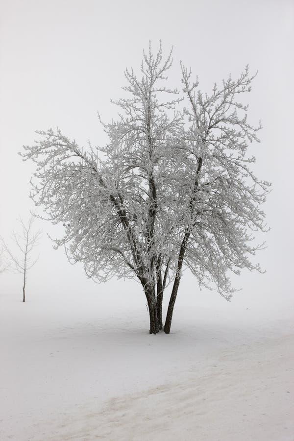 Дерево в тяжелом тумане в зиме. стоковое изображение rf