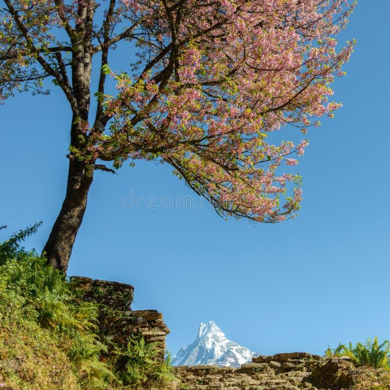 Дерево в цветени и Machapuchare, Непале стоковое изображение rf