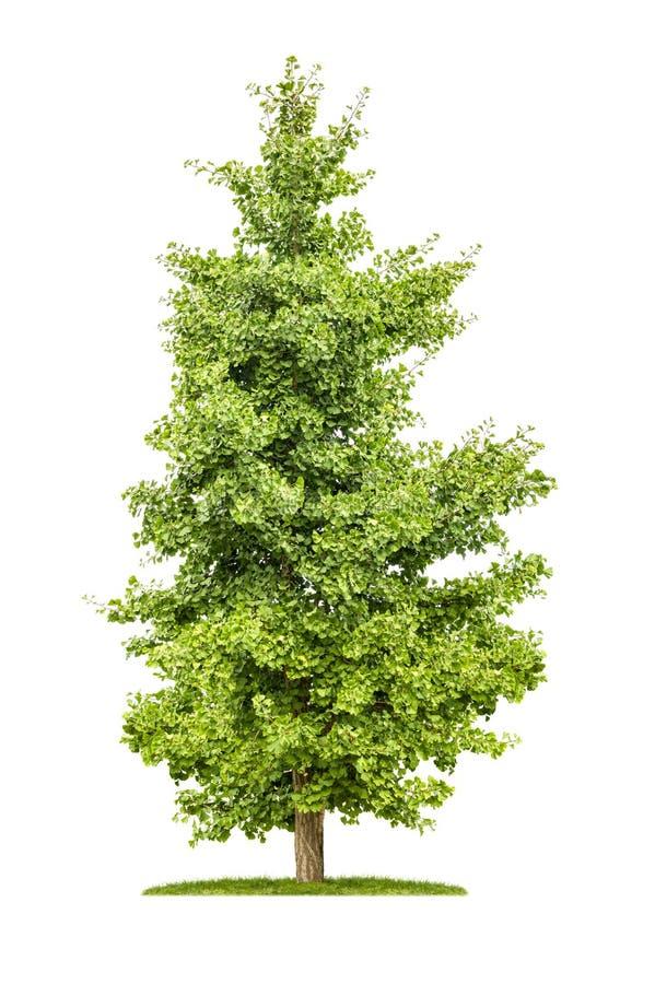 Дерево гинкго на белой предпосылке стоковое фото