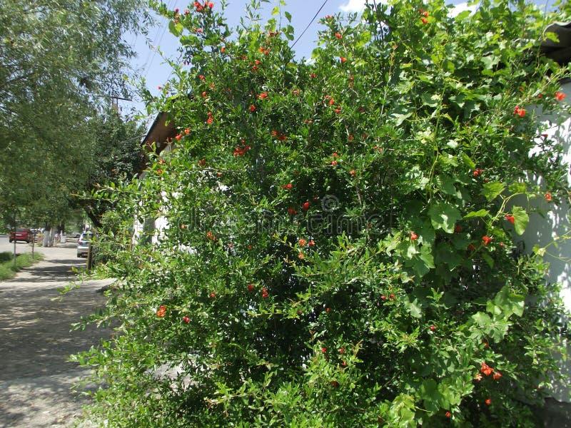 Дерево гранатового дерева стоковые фото