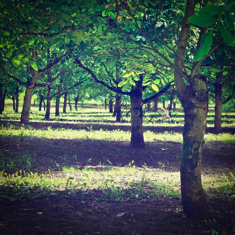 Download Дерево грецкого ореха стоковое фото. изображение насчитывающей флора - 41655038