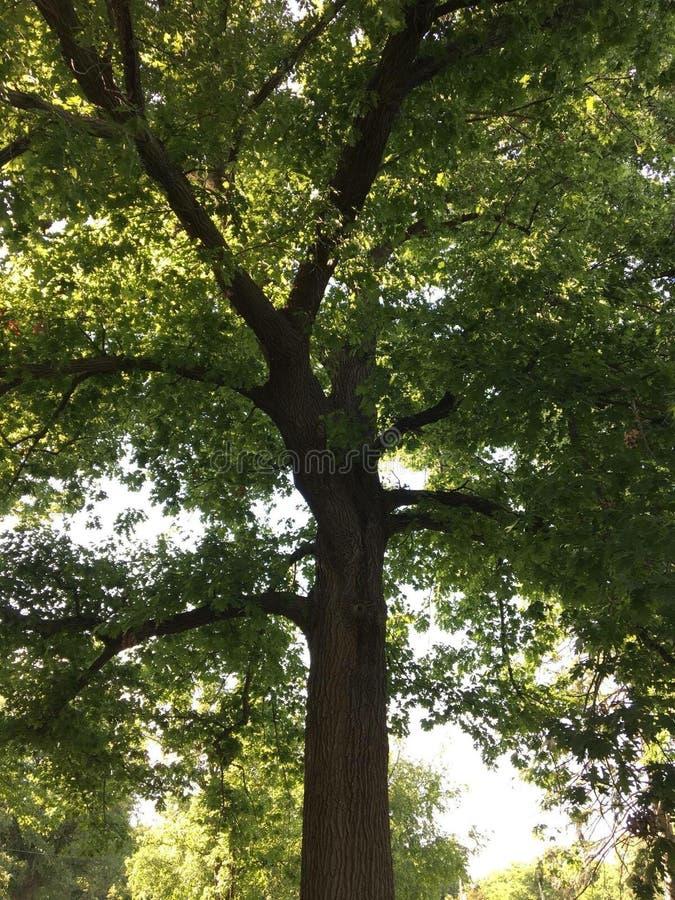 Дерево деда стоковые фото