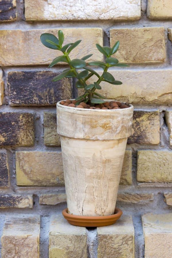 Дерево денег завода нефрита ovata Crassula комнатного растения в глиняном горшке стоковое фото rf