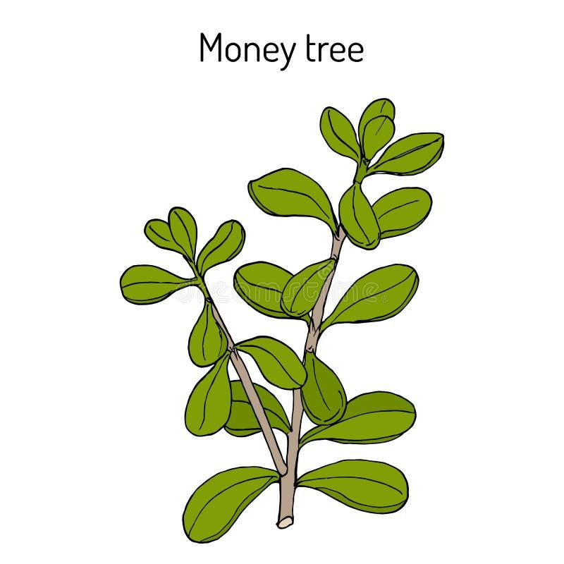 Дерево денег или portulacea Crassula завода нефрита, лекарственное растение иллюстрация вектора
