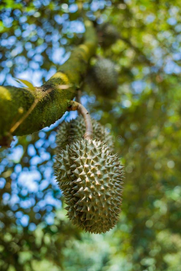 Дерево дуриана, свежий плод дуриана на дереве стоковые изображения rf