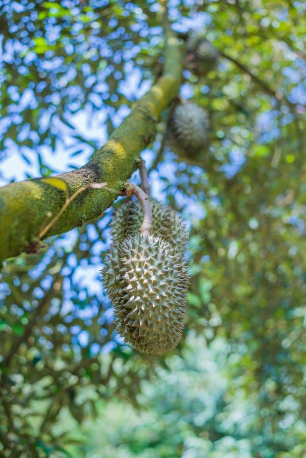 Дерево дуриана, свежий плод дуриана на дереве стоковая фотография