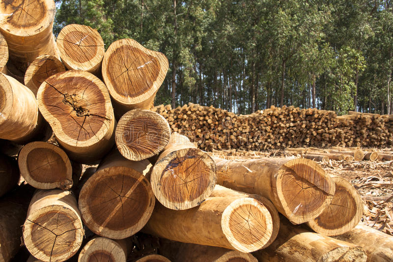 Дерево евкалипта стоковая фотография