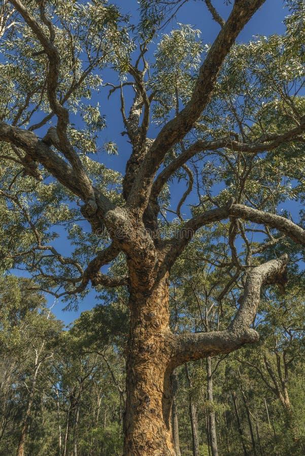 Дерево евкалипта стоковая фотография rf