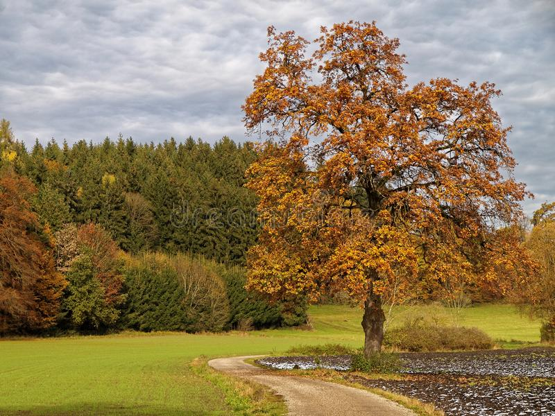 Дерево европейской золы в осеннем ландшафте с следом стоковые фотографии rf