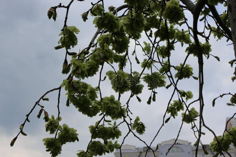 Дерево зацвело весной зеленые цвета стоковое фото
