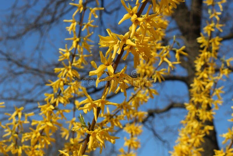 Дерево зацвело желтые чувствительные цветки стоковое фото rf