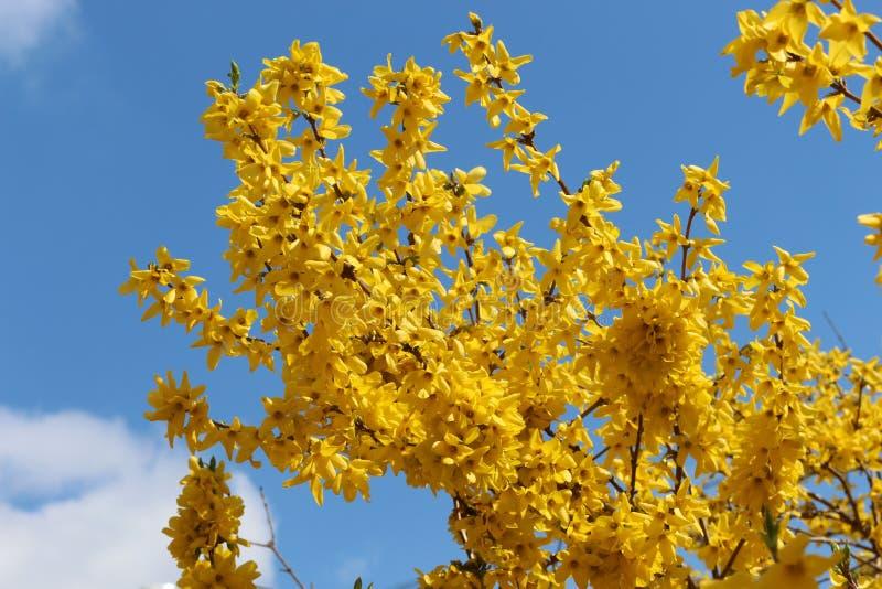 Дерево зацвело желтые чувствительные цветки стоковое фото