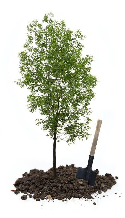 Дерево зеленой золы стоковое фото