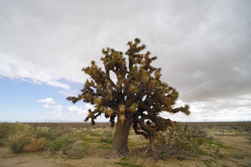 Дерево Иешуа в пустыне Мохаве стоковое фото