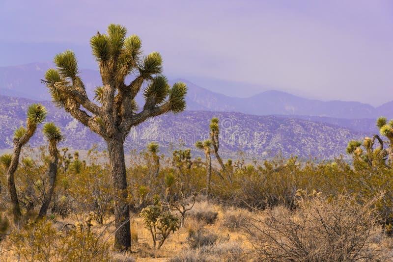 Дерево Иешуа, кактус юкки в пустыне Мохаве Калифорнии стоковые изображения