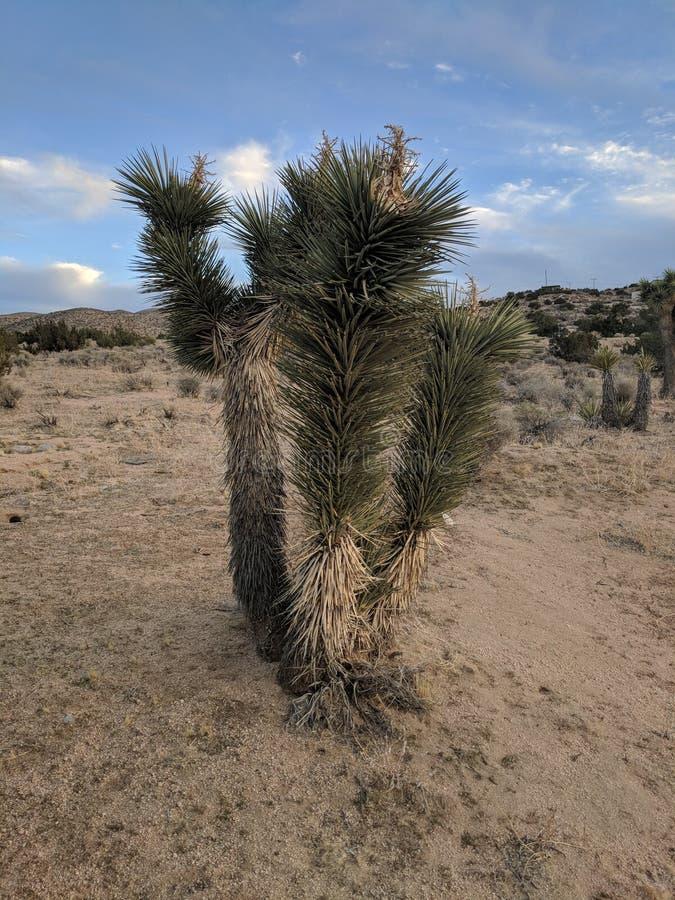 Дерево Иешуа стоковое изображение rf