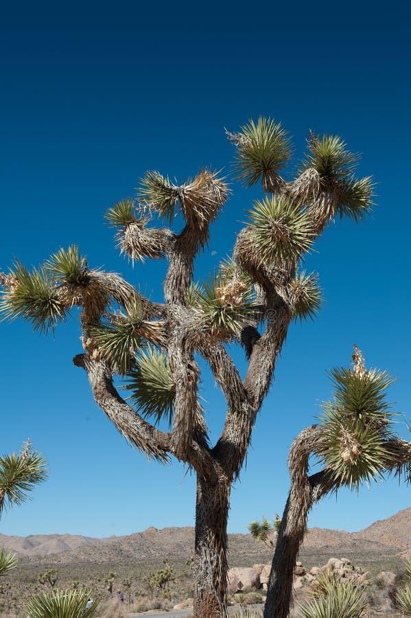 Дерево Иешуа стоковая фотография rf