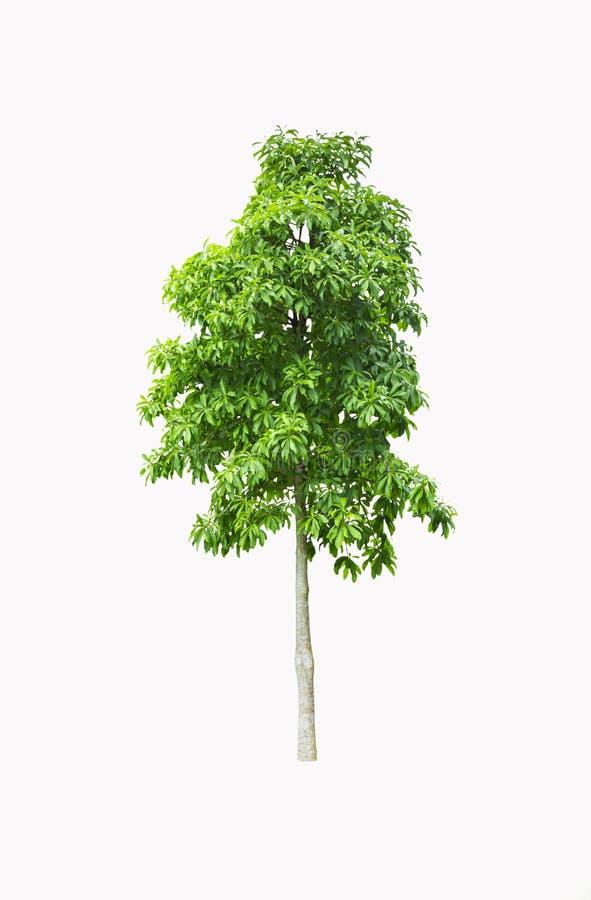 Дерево изолированное на белой предпосылке стоковое фото rf