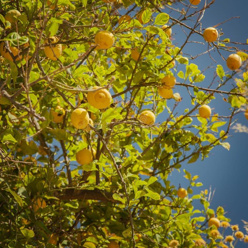 Дерево лимона с зрелым плодоовощ стоковые изображения rf