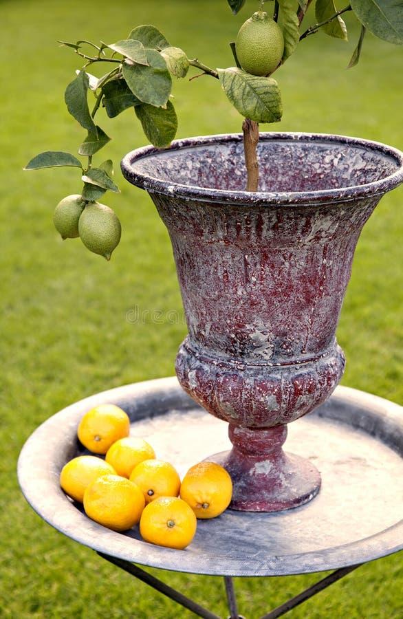 Дерево лимона стоковое изображение rf