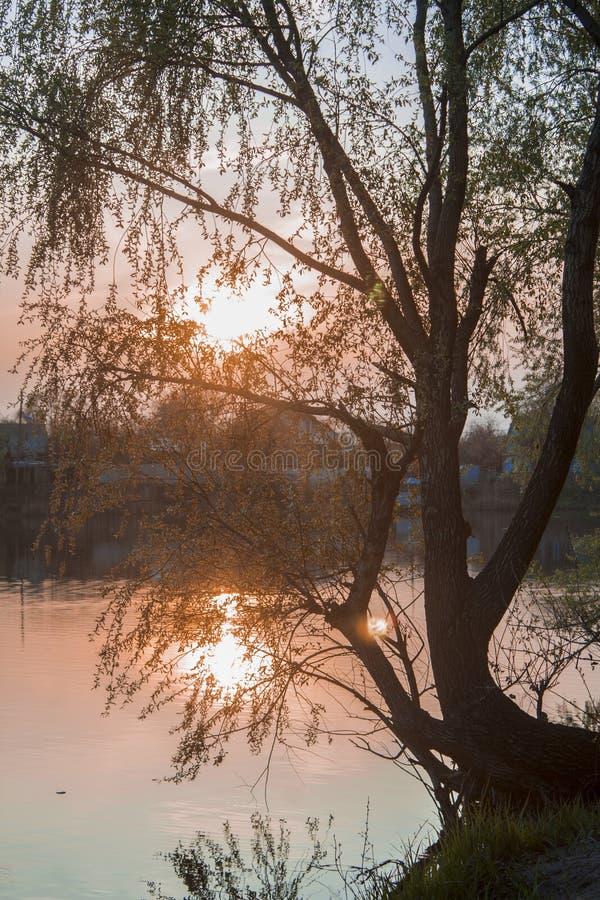 Дерево липы с заходом солнца предпосылки стоковые изображения